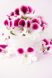 Pelargonium Flowers in a White Teacup. White and pink flower heads in a white porcelain cup on pastel violet background stock images