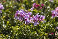 Pelargonium fynbos flowers Royalty Free Stock Photography