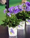 pelargonium garnka taras Zdjęcie Royalty Free