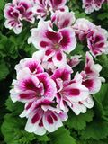 Pelargonium geranium flowers with white and purple petals. Wonderful pelargonium geranium flowers with white and purple petals blossoming during early summertime royalty free stock photos
