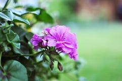 Pelargonium or geranium lilac flowers, balcony garden, close up royalty free stock photos
