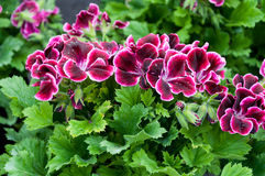 Pelargonium grandiflorum Royalty Free Stock Photo