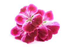 Pelargonium grandiflorum Imperial Stock Image