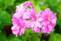 Pelargonium grandiflorum kwiat Zdjęcia Royalty Free