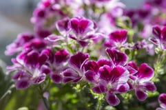 Pelargonium grandiflorum ornamental flower in bloom, pink violet purple flowering pot plant stock image