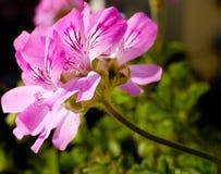 Pelargonium graveolens fotografia royalty free