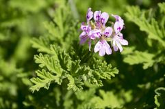Pelargonium graveolens in bloom, ornamental flowers. Close up view, daylight, light pink violet purple petals, green leaves, balcony flowering plant Stock Image