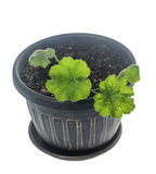 Pelargonium growing in pot. Young plant Pelargonium growing in flowerpot isolated on white stock photo