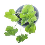 Pelargonium growing in pot. Young plant Pelargonium growing in flowerpot isolated on white stock image