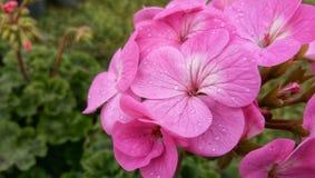 Pelargonium x hortorum Bailey Pink Color Flowers royalty free stock photo