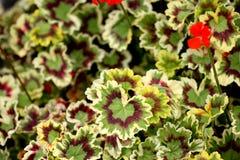 Pelargonium x hortorum `Velma Cox`, Zonal Geranium royalty free stock images