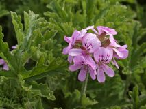 Pelargonium hybrid Stock Photo