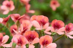 Geranium. Pelargonium inquinans, commonly known as geranium, is a genus of flowering plants in the Geraniaceae family royalty free stock photo