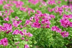 Rose Geranium Stock Images