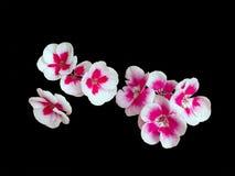 Pelargonium 'Jabłczany okwitnięcie' Obraz Stock
