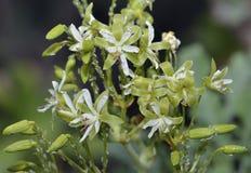 Pelargonium klinghardtense Stock Photography