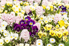 Pelargonium kwiatów ogród Zdjęcia Stock