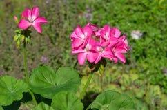 Pelargonium (lat Zonale del Pelargonium) en el jardín Imágenes de archivo libres de regalías