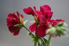 Pelargonium Lola. Maroon flowers. Best Lip Color Royalty Free Stock Images