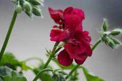 Pelargonium Lola. Maroon ideas for a beautiful balcony, decorating the flowers Royalty Free Stock Photos