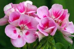 Pelargonium ?luz referente à cultura norte-americana - respingo cor-de-rosa? Fotos de Stock