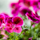 Pelargonium Stock Photography