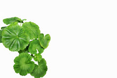 Pelargonium Royalty Free Stock Photo