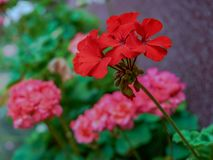 Pelargonium is a genus of flowering plants which includes about stock photo