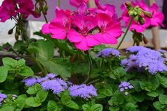 Pelargonium over purple group flowers. Highly Cyclamen Pelargonium, dominates the composition of flowers. Tiny purple flowers, insects adore him. expressive royalty free stock photography