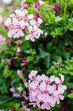 Pelargonium peltatum Royalty Free Stock Photos
