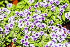 Pelargonium peltatum. Colorful Pelargonium peltatum in summer garden Europe. Blooming flowers stock photography