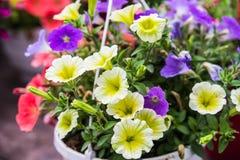 Pelargonium peltatum. Colorful Pelargonium peltatum in summer garden Europe. Blooming flowers royalty free stock images