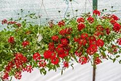 Pelargonium peltatum. Colorful Pelargonium peltatum in summer garden Europe. Blooming flowers stock photos