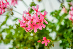Pelargonium peltatum Royalty Free Stock Image