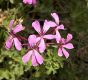 Pelargonium peltatum (geraniums,gipsies) Stock Photos