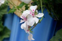 Pelargonium peltatum Glacier White, Glacier White Ivy-leaved Geranium stock images