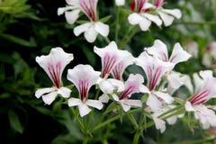 Pelargonium peltatum Glacier White, Glacier White Ivy-leaved Geranium stock image