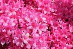 Pelargonium peltatum group of pink geranium's Royalty Free Stock Photography