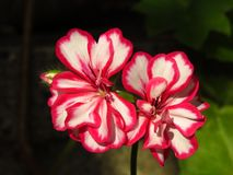 Pelargonium peltatum Ivy geranium. Outdoor garden summer flower with red and white blooms on blurred dark background. Suitable for floral background, greeting royalty free stock image