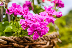 Pelargonium Peltatum. Or ivy-leaved geranium as known as hanging geranium flowers in the garden of a village house located in Marmara region of the country stock photos