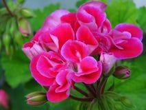 Pelargonium peltatum Ivy geranium. Outdoor garden summer flower with pink blooms and vibrant green leaves. Pelargonium_peltatum. Pelargonium peltatum Ivy stock photos
