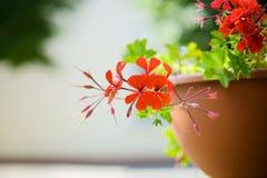 Pelargonium peltatum is species of pelargonium Royalty Free Stock Photography