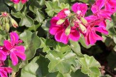 Pelargonium peltatum ` Wielkich kul ognia Błękitny `, Wielkich kul ognia bluszcza liścia Błękitny bodziszek Zdjęcie Royalty Free