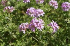 Pelargonium Perfumado-con hojas, foco selectivo Foto de archivo