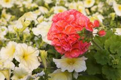 Pelargonium and petunia Stock Photos