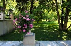 Pelargonium pink flowers in flowerpot in garden. Pelargonium pink flowers in flowerpot, summer day in garden royalty free stock images