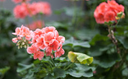 Pelargonium. Pink Geranium Pelargonium flowers in the garden Royalty Free Stock Photos