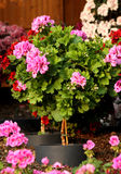 Pelargonium plant on the stalk. Potted and flowering with pink and red flowers Stock Photo