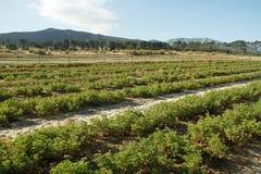 Pelargonium plants on an South African farm Stock Photography