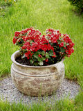 Pelargonium pot Royalty Free Stock Photography